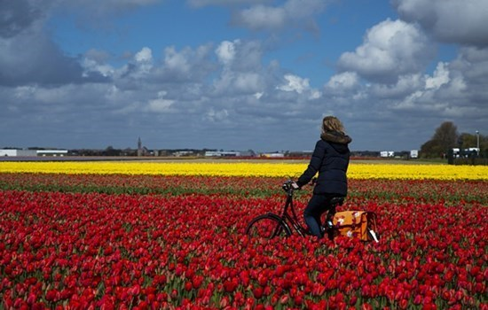 Woman on a bike riding through the tulip fields outside Amsterdam, the Netherlands/Holland